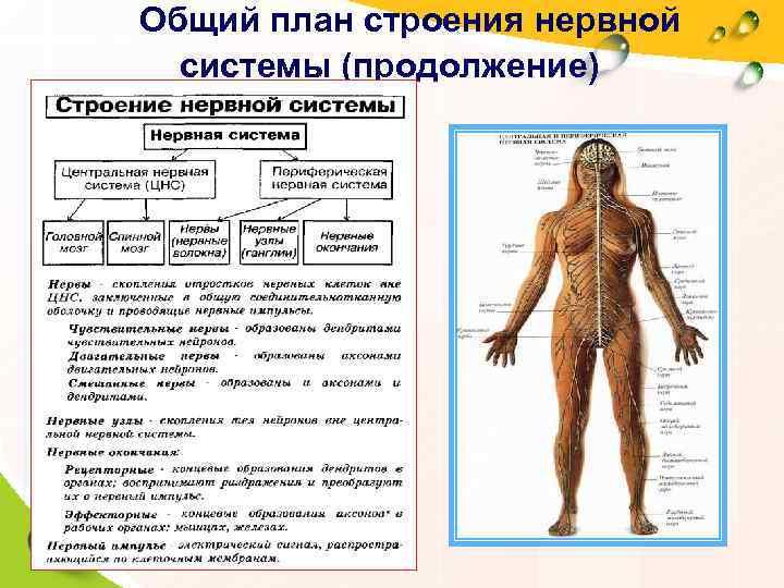 Общий план строения нервной   системы (продолжение)