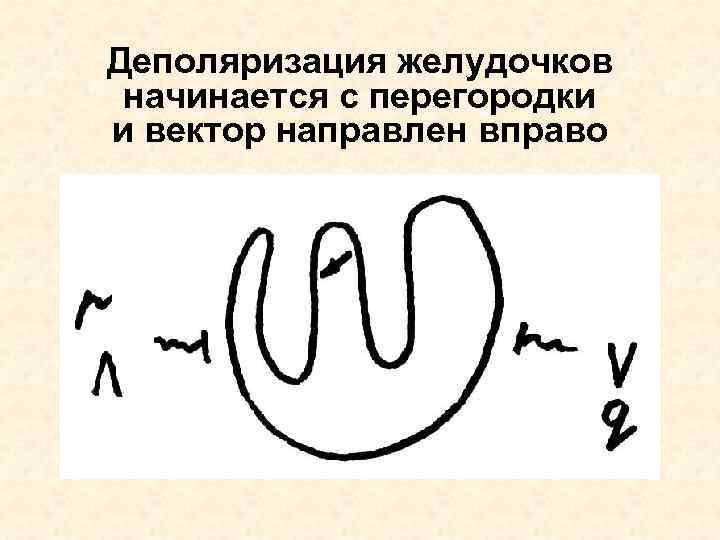 Деполяризация желудочков начинается с перегородки и вектор направлен вправо