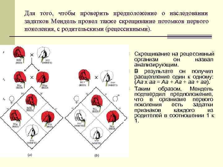 Для того, чтобы проверить предположение о наследовании задатков Мендель провел также скрещивание потомков первого