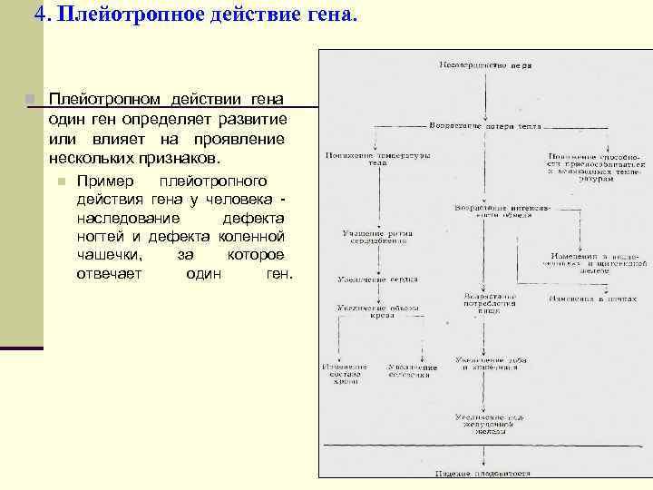 4. Плейотропное действие гена.  n Плейотропном действии гена  один ген определяет