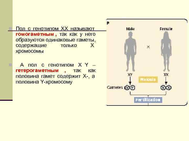 n Пол с генотипом ХХ называют  гомогаметным , так как у него