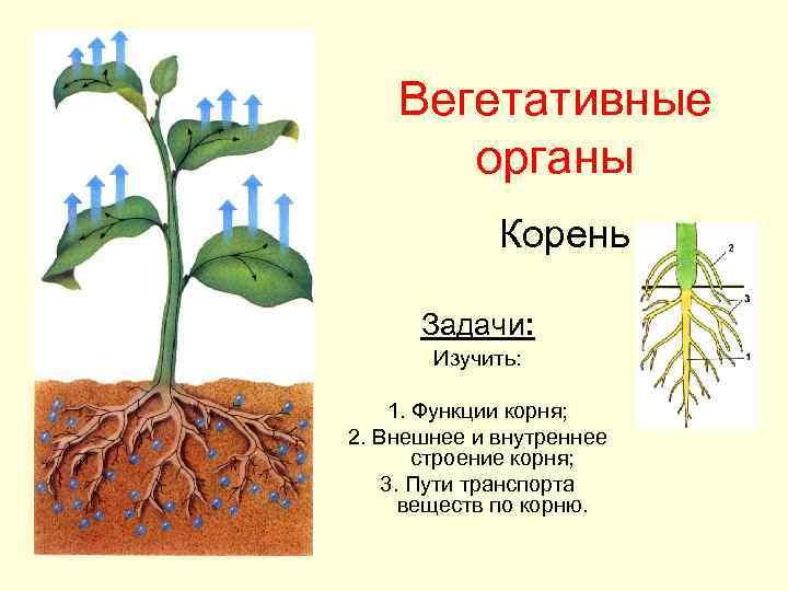 Вегетативные  органы   Корень  Задачи:   Изучить: