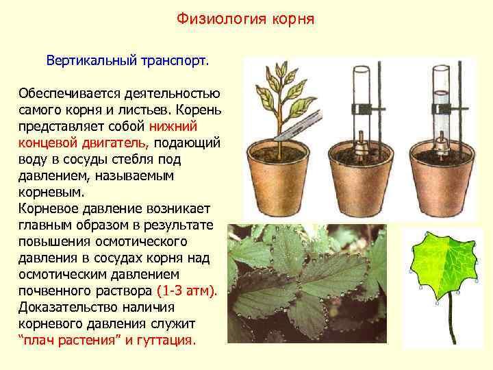 Физиология корня Вертикальный транспорт.  Обеспечивается деятельностью самого корня и