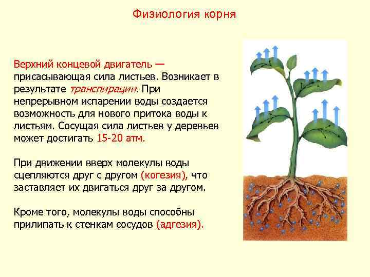 Физиология корня  Верхний концевой двигатель — присасывающая сила листьев.
