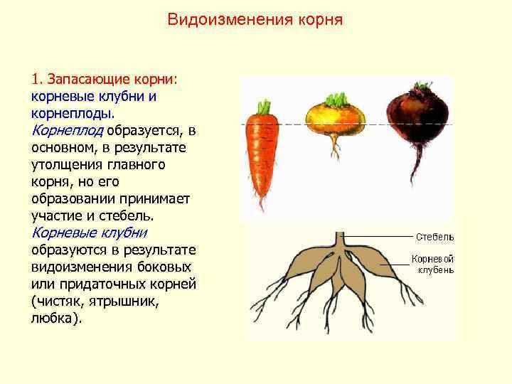 Видоизменения корня  1. Запасающие корни: корневые клубни и корнеплоды.