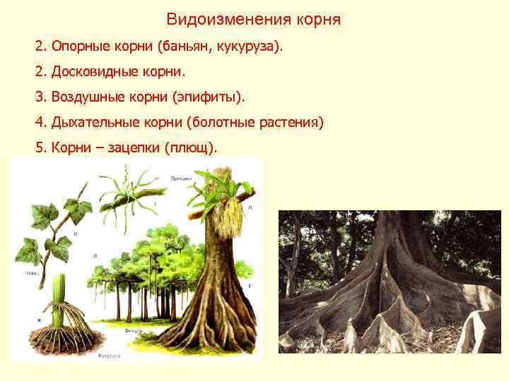 Видоизменения корня 2. Опорные корни (баньян, кукуруза). 2. Досковидные корни.