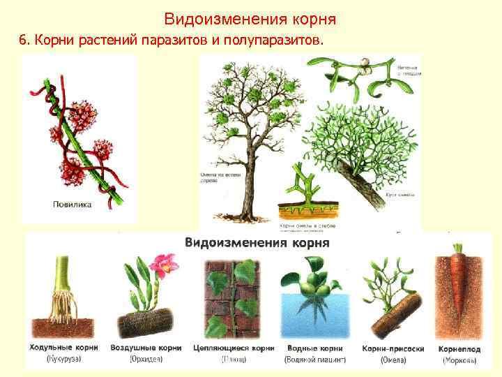 Видоизменения корня 6. Корни растений паразитов и полупаразитов.