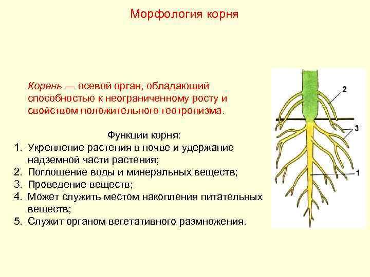 Морфология корня   Корень — осевой орган, обладающий способностью