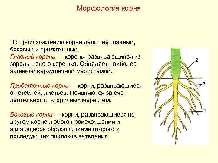 Морфология корня  По происхождению корни делят на главный, боковые