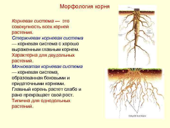 Морфология корня Корневая система — это совокупность всех корней растения.