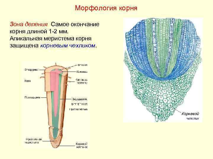 Морфология корня Зона деления. Самое окончание корня длиной 1