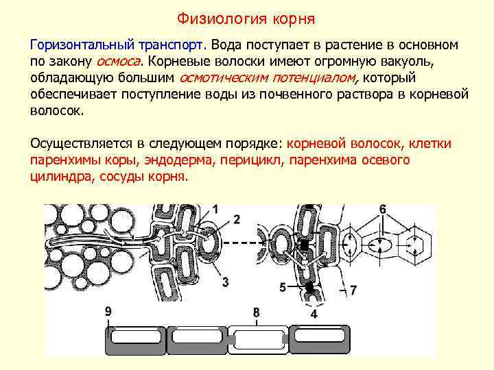 Физиология корня Горизонтальный транспорт. Вода поступает в растение в