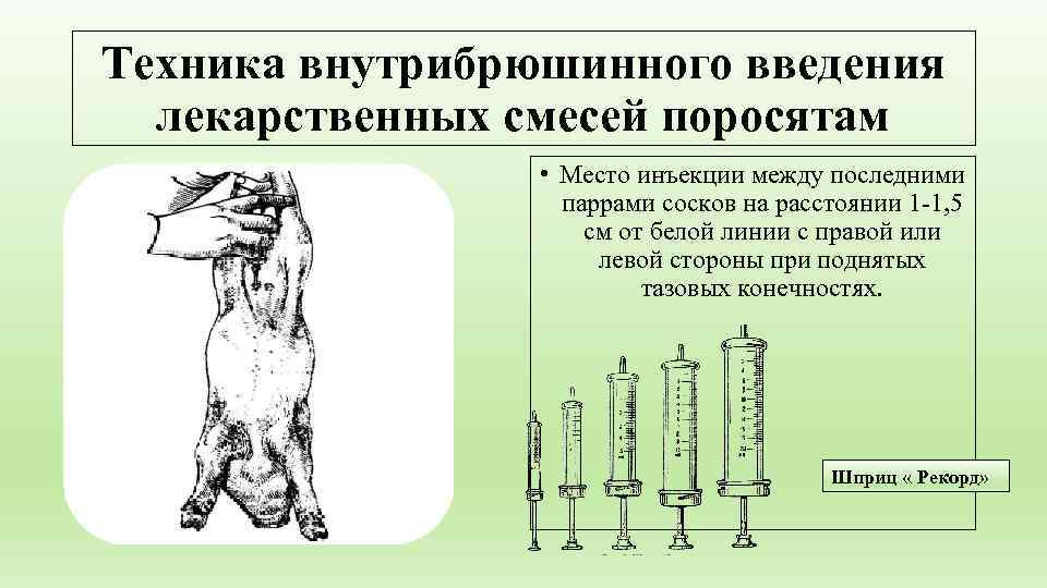 Техника внутрибрюшинного введения  лекарственных смесей поросятам    • Место инъекции между