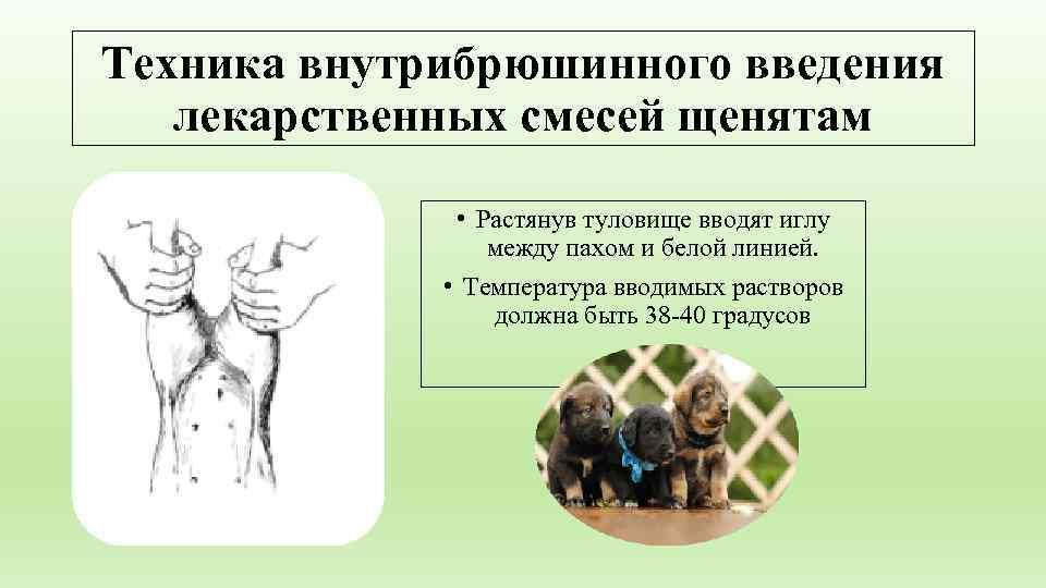 Техника внутрибрюшинного введения  лекарственных смесей щенятам   • Растянув туловище вводят иглу
