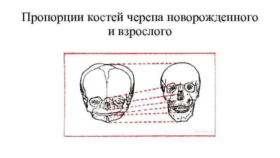 Пропорции костей черепа новорожденного    и взрослого