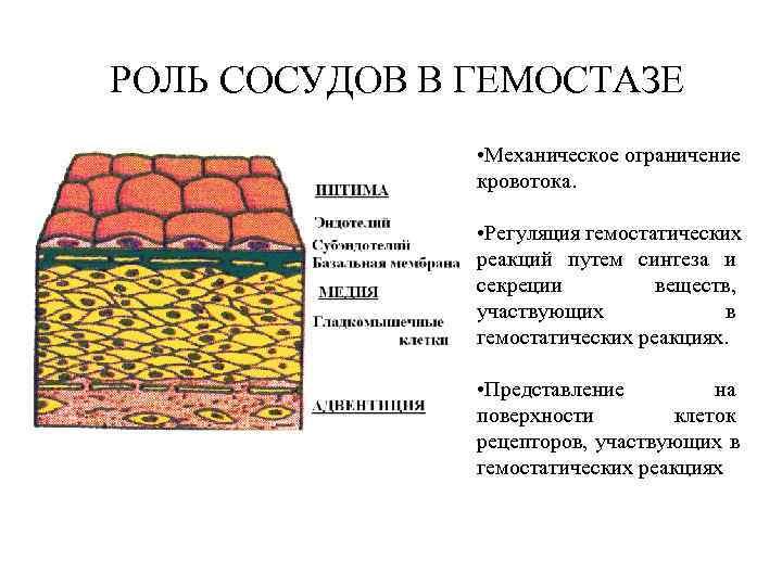 РОЛЬ СОСУДОВ В ГЕМОСТАЗЕ   • Механическое ограничение   кровотока.