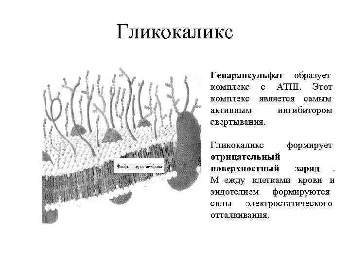 Гликокаликс   Гепарансульфат образует   комплекс с АТIII.  Этот