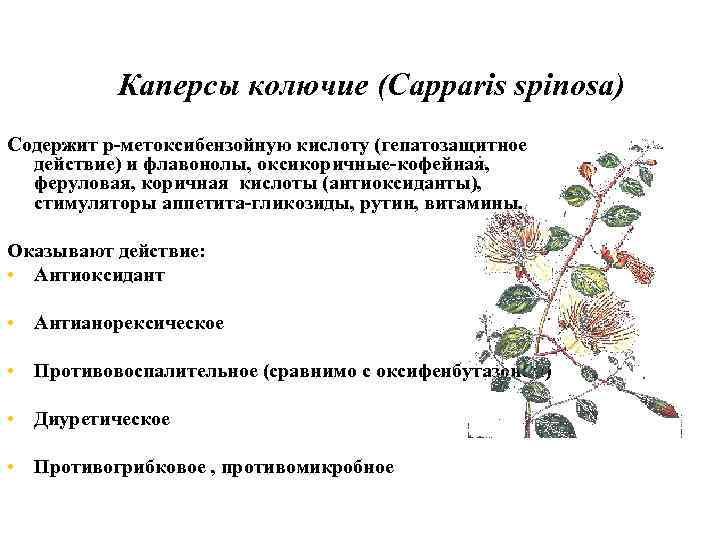 Лив. 52 Каперсы колючие (Capparis spinosa) Содержит р-метоксибензойную кислоту (гепатозащитное действие) и флавонолы, оксикоричные-кофейная,