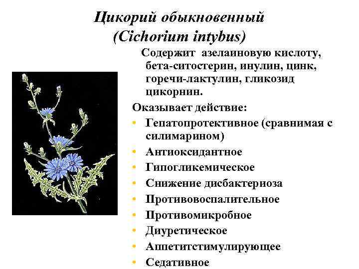 Лив. 52 Цикорий обыкновенный (Cichоrium intybus) Содержит азелаиновую кислоту, бета-ситостерин, инулин, цинк, горечи-лактулин, гликозид