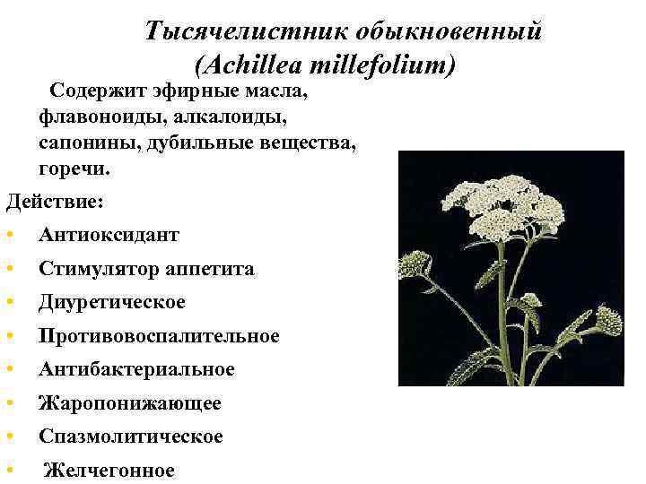 Тысячелистник обыкновенный (Achillea millefolium) Содержит эфирные масла, флавоноиды, алкалоиды, сапонины, дубильные вещества, горечи. Действие: