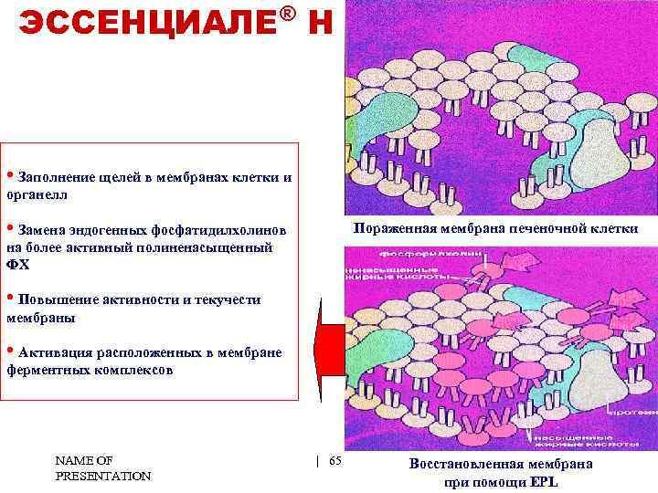 ® ЭССЕНЦИАЛЕ Н • Заполнение щелей в мембранах клетки и органелл • Замена эндогенных