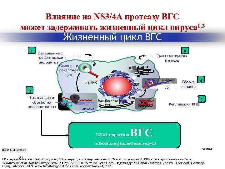 Влияние на NS 3/4 A протеазу ВГС может задерживать жизненный цикл вируса 1, 2