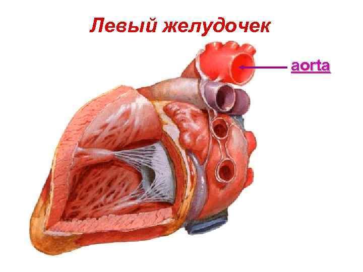 желудочек сердца картинка приховає