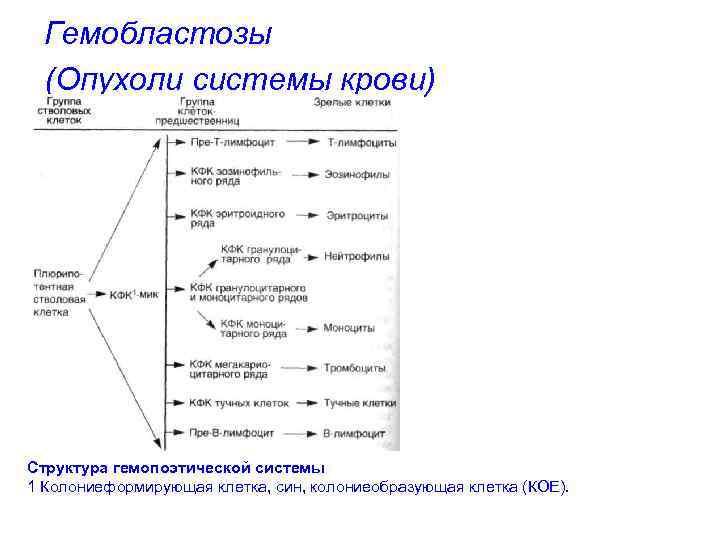 Гемобластозы (Опухоли системы крови) Структура гемопоэтической системы 1 Колониеформирующая клетка, син, колониеобразующая клетка (КОЕ).