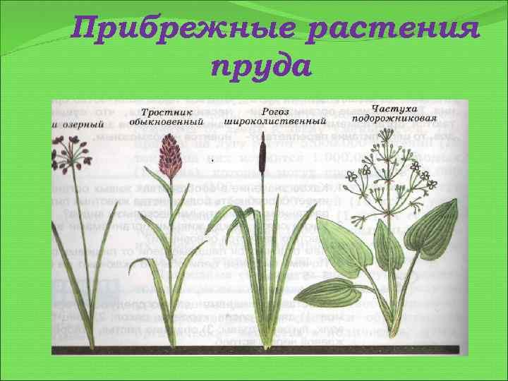 Прибрежные растения пруда