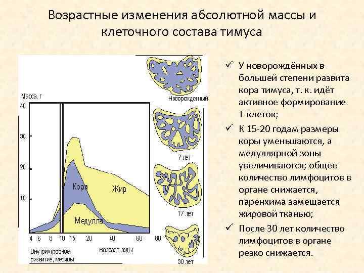 Возрастные изменения абсолютной массы и клеточного состава тимуса ü У новорождённых в большей степени