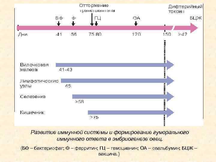 Развитие иммунной системы и формирование гуморального иммунного ответа в эмбриогенезе овец. (БФ – бактериофаг;