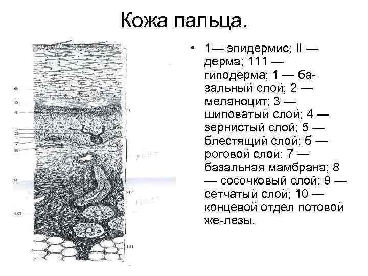 Кожа пальца. • 1— эпидермис; II — дерма; 111 — гиподерма; 1 — ба