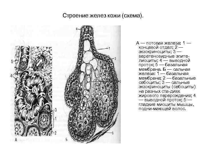 Строение желез кожи (схема). А — потовая железа: 1 — концевой отдел; 2 —