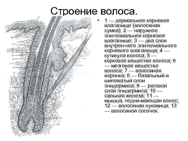 Строение волоса. • 1 — дермальное корневое влагалище (волосяная сумка); 2 — наружное эпителиальное