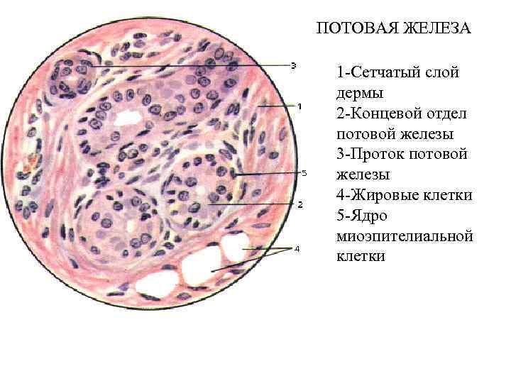 ПОТОВАЯ ЖЕЛЕЗА 1 -Сетчатый слой дермы 2 -Концевой отдел потовой железы 3 -Проток потовой