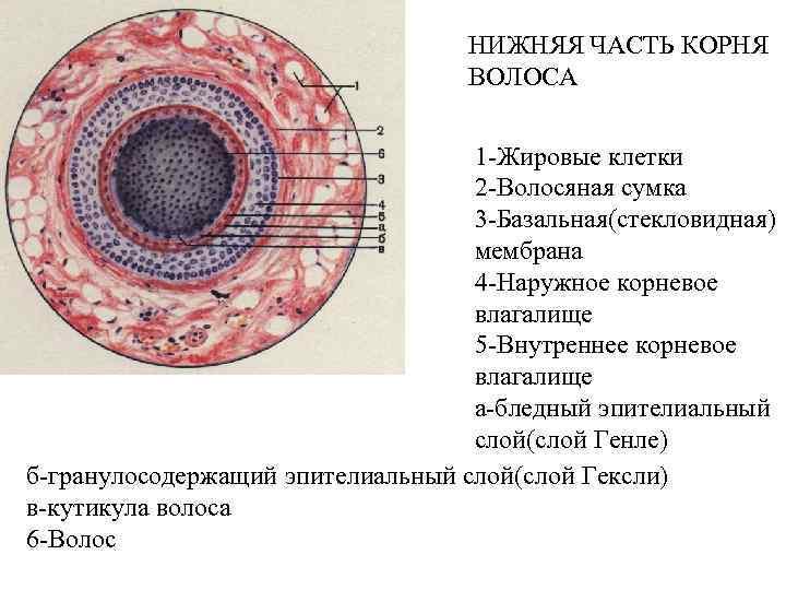 НИЖНЯЯ ЧАСТЬ КОРНЯ ВОЛОСА 1 -Жировые клетки 2 -Волосяная сумка 3 -Базальная(стекловидная) мембрана 4