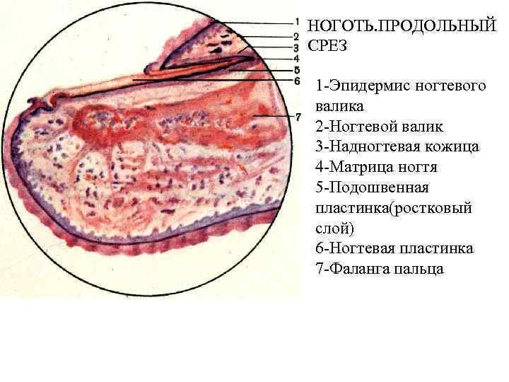 НОГОТЬ. ПРОДОЛЬНЫЙ СРЕЗ 1 -Эпидермис ногтевого валика 2 -Ногтевой валик 3 -Надногтевая кожица 4
