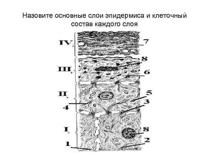 Назовите основные слои эпидермиса и клеточный состав каждого слоя