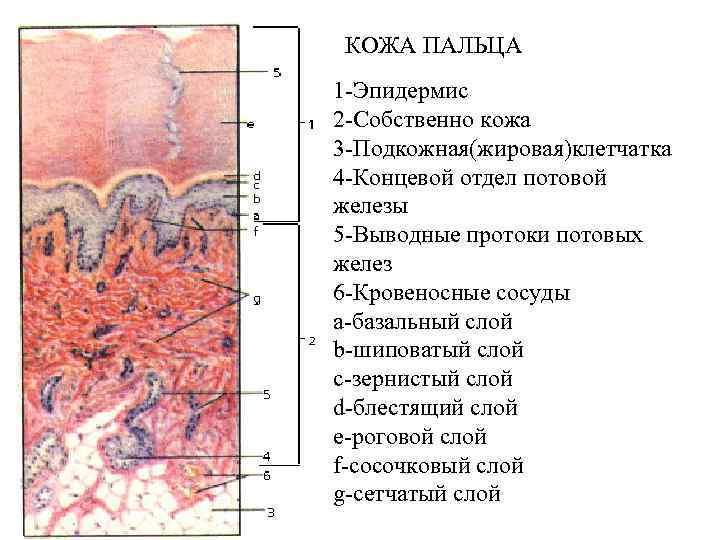 КОЖА ПАЛЬЦА 1 -Эпидермис 2 -Собственно кожа 3 -Подкожная(жировая)клетчатка 4 -Концевой отдел потовой железы