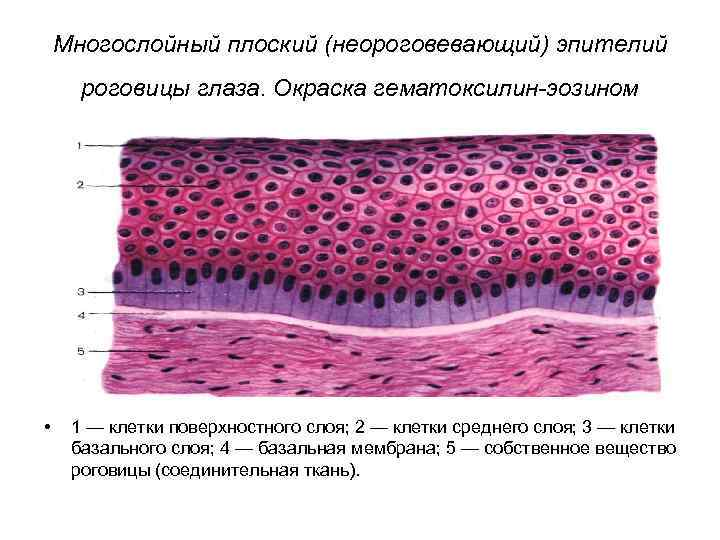 Многослойный плоский (неороговевающий) эпителий роговицы глаза. Окраска гематоксилин-эозином • 1 — клетки поверхностного слоя;