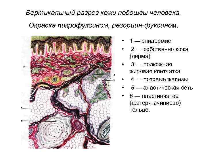 Вертикальный разрез кожи подошвы человека. Окраска пикрофуксином, резорцин-фуксином. • 1 — эпидермис • 2