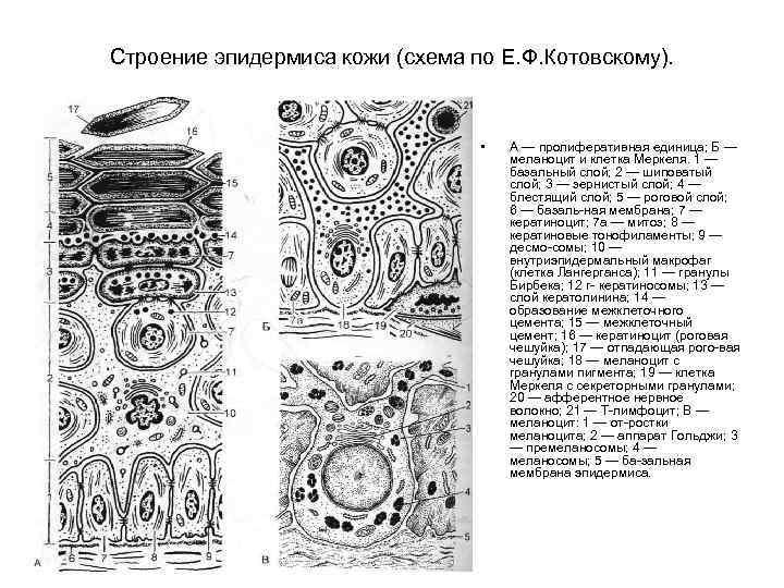 Строение эпидермиса кожи (схема по Е. Ф. Котовскому). • А — пролиферативная единица; Б