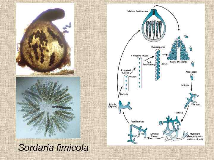 frequency of meiotic divisions from sordaria fimicola Meiotic division i in this section, we will discuss the events of the first meiotic division as we have already described, meiosis comprises two cellular divisions, meiosis i and meiosis ii.