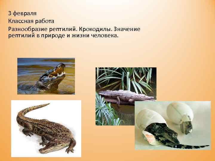 3 февраля Классная работа Разнообразие рептилий. Крокодилы. Значение рептилий в природе и жизни человека.