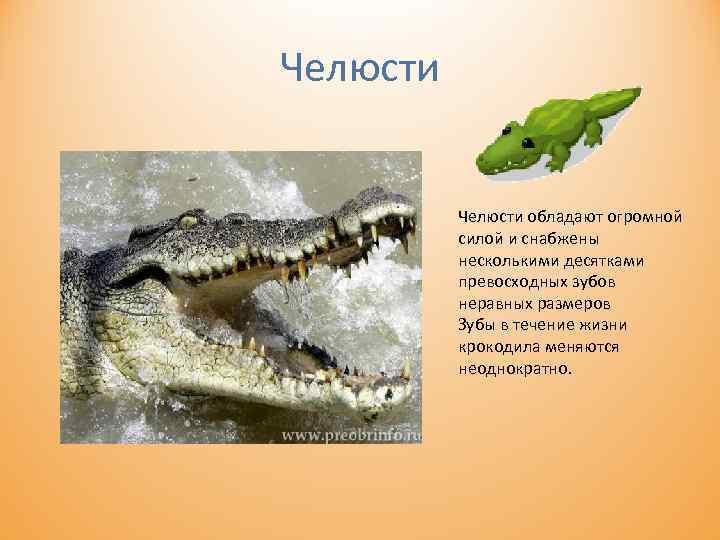 Челюсти обладают огромной силой и снабжены несколькими десятками превосходных зубов неравных размеров Зубы в