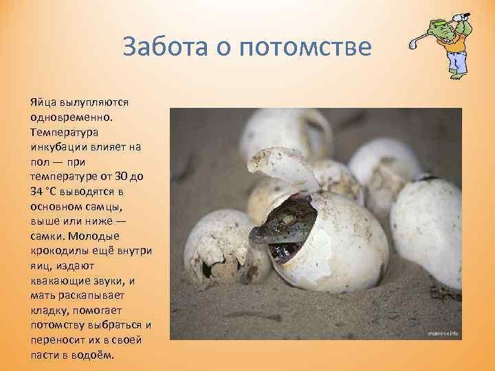 Забота о потомстве Яйца вылупляются одновременно. Температура инкубации влияет на пол — при температуре