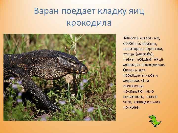 Варан поедает кладку яиц крокодила Многие животные, особенно вараны, некоторые черепахи, птицы (марабу), гиены,