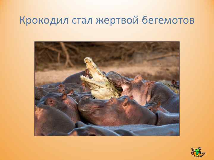 Крокодил стал жертвой бегемотов