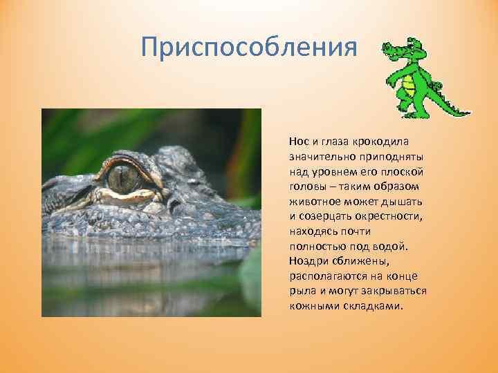 Приспособления Нос и глаза крокодила значительно приподняты над уровнем его плоской головы – таким