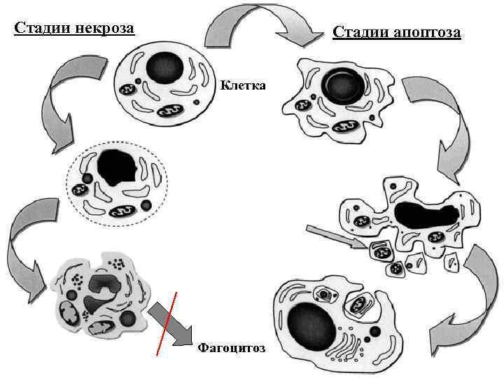 Стадии некроза Стадии апоптоза Клетка Фагоцитоз